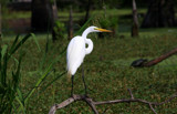 Pose of the Great Egret by Vivianne, Photography->Birds gallery