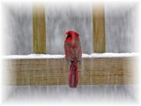 Cardinal Country by mimi, photography->birds gallery
