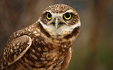 Burrowing Owl by tweir, Photography->Birds gallery