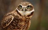 Burrowing Owl by tweir, Photography->Birds gallery