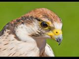 raptorial bird # 3 by kodo34, Photography->Birds gallery