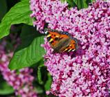 Small Tortoiseshell... by biffobear, photography->butterflies gallery