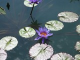 Lotus in the Water by MPotyondi, Photography->Flowers gallery