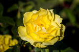 Late Rose (3) by Pistos, photography->flowers gallery
