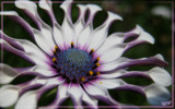Curly Purple Petals by purplemur, Photography->Flowers gallery