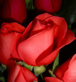 Roses by ccmerino, Photography->Flowers gallery
