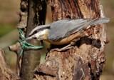 Nuthatch by biffobear, photography->birds gallery