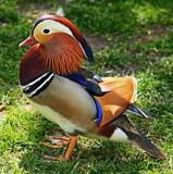 Duck a l'Orange by biffobear, Photography->Birds gallery