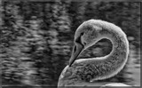 The Mute Swan In Black & White by tigger3, contests->b/w challenge gallery