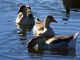 Everything is Just Ducky! by kidder, Photography->Birds gallery
