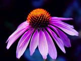 Echinecea by Paul_Gerritsen, Photography->Flowers gallery
