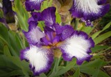 Iris Beauty by nmsmith, photography->flowers gallery
