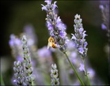Sweet Lavender by LynEve, photography->flowers gallery
