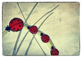 Ladybugs by bfrank, illustrations gallery