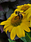 BumbleBee Yellow by cjdaugh76, photography->flowers gallery