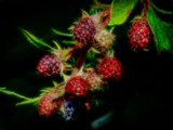 Very Berry by biffobear, photography->manipulation gallery