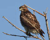 Immature Red Tail by garrettparkinson, photography->birds gallery
