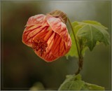 Abutilon by Bleizmor, photography->flowers gallery