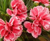 More Carnations by trixxie17, photography->flowers gallery