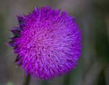 Thistle in Full Bloo... by Pistos