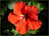 Red Hawaiian Hibiscus by LynEve, photography->flowers gallery