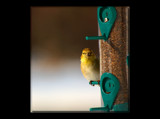 A Seed Catcher #2 by tigger3, Photography->Birds gallery
