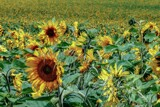 Sunflowers by LynEve, photography->flowers gallery