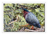 Little Green Heron by gerryp, Photography->Birds gallery