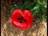 Bright Poppy at Fredericksburg by Anita54, Photography->Flowers gallery