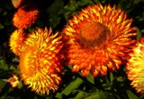 Strawflowers by LynEve, photography->flowers gallery