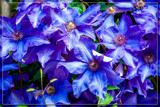 Foofy Friday Clematis by corngrowth, photography->flowers gallery