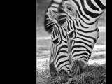 zebra #3 by kodo34, Photography->Animals gallery
