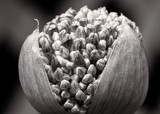 Allium Grand Opening by luckyshot, contests->b/w challenge gallery
