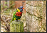 Lorikeet 2 by Jimbobedsel, photography->birds gallery