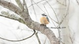 The Red Breasted Nuthatch by tigger3, photography->birds gallery