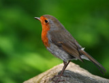 The Red Red Robin by biffobear, photography->birds gallery