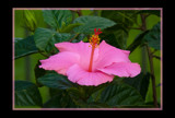 The Hibiscus by tigger3, Photography->Flowers gallery