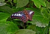 Resting by biffobear, photography->butterflies gallery