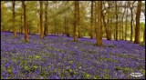 Bluebell Wood.. by Dunstickin, photography->nature gallery