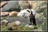 Magellanic Penguin by Jimbobedsel, photography->birds gallery