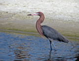Reddish Egret by allisontaylor, Photography->Birds gallery