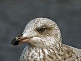 Stephen Seagull by biffobear, photography->birds gallery