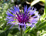 Cornflower by trixxie17, photography->flowers gallery