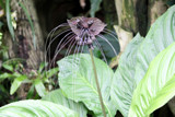 Black Bat Plant by Pistos, photography->flowers gallery