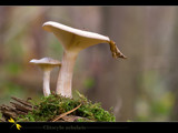 clitocybe nebularis by kodo34, Photography->Mushrooms gallery