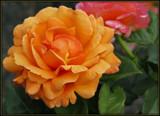 Tangerine by trixxie17, photography->flowers gallery