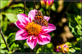 Butterfly On Dahlia by corngrowth, photography->butterflies gallery