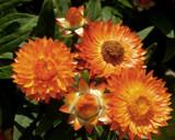 Strawflower Bouquet by trixxie17, photography->flowers gallery