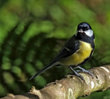 Great Tit by biffobear, photography->birds gallery