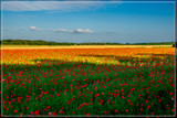 Shadowed Poppy Field by corngrowth, photography->landscape gallery